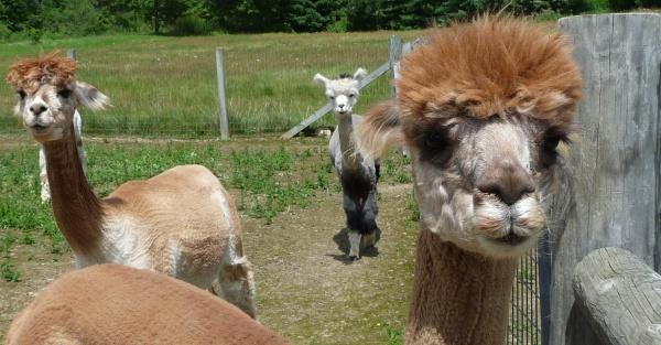 Alpaca Shack Image
