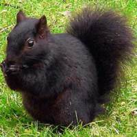 Serendipity Of The Black Squirrel