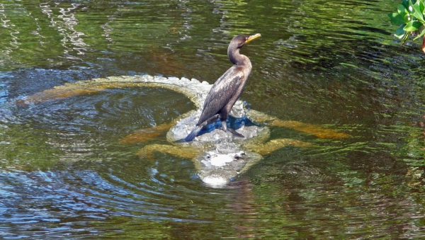 Bird Riding an Alligator Image