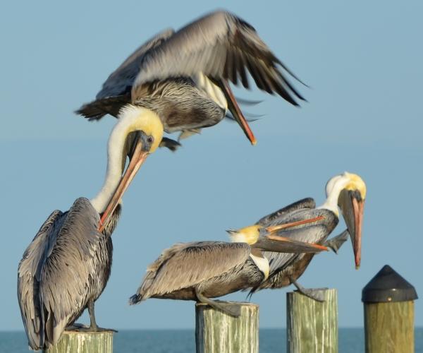 Pelican Image