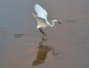 Snowy Egret Water Dane Image