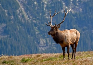 Rocky Mountain National Park Elk