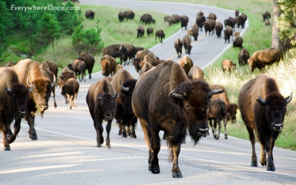 Custer State Park SD Traffic Jam