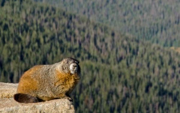 Yellow Bellied Marmot