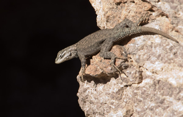 Chiricahua National Monument Gecko