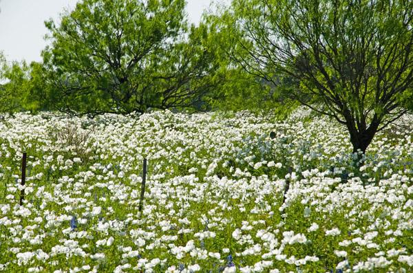 Fredericksburg Wildflowers