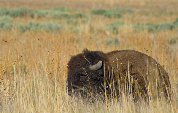 Bison on Antelope Island Utah