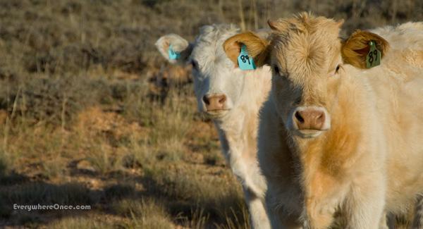 Cute Calves Cows Livestock Animal