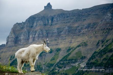 Glacier National Park Mountain Goat Wildlife Landscape