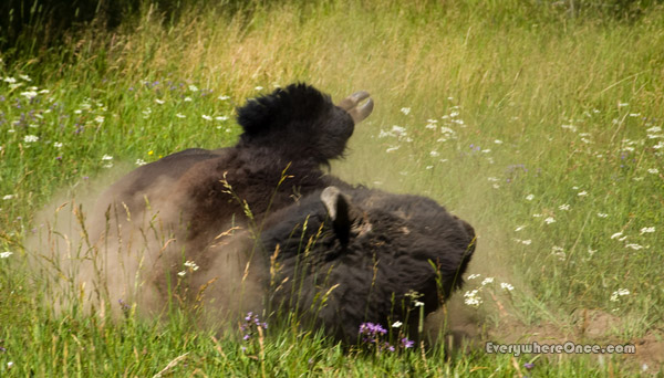Yellowstone National Park Bison Rolling on Back