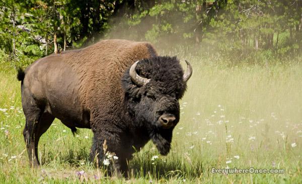 Yellowstone National Park Bison Buffalo Wildlife