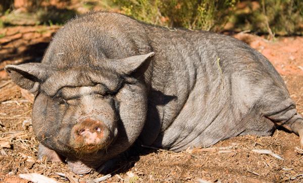 Best Friends Animal Sanctuary Piggy Paradise