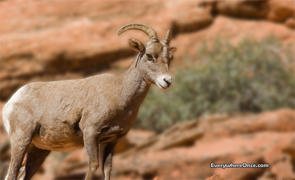 Big Horn Sheep, wildlife