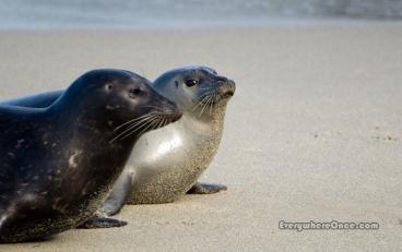Baby seals, Childrens Pool Beach, La Jolla, CA