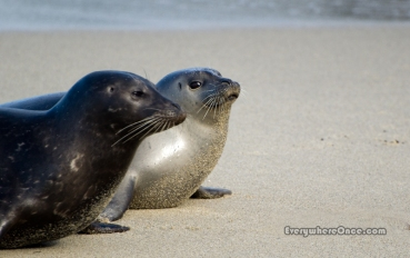 Baby seals, Childrens Pool Beach, La Jolla, CA