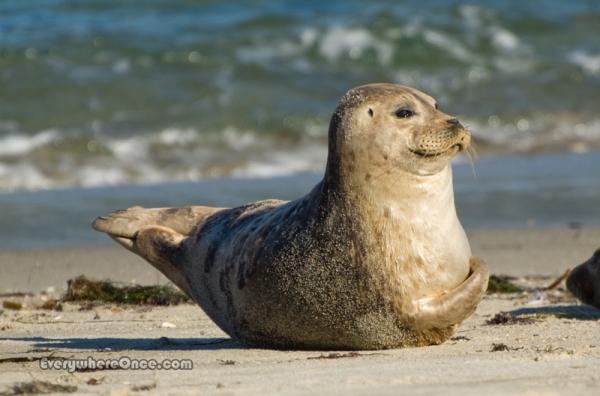 Seal on Childrens Pool Beach, La Jolla, California