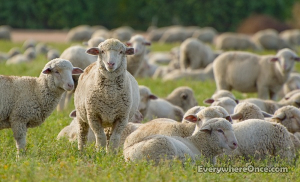 Sheep, Flock, Livestock, Animal