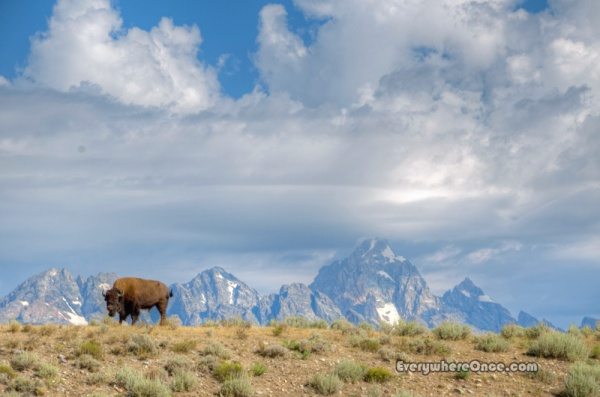 Bison at Grand Teton National Park