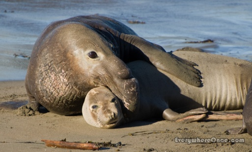 Elephant Seals Cuddling