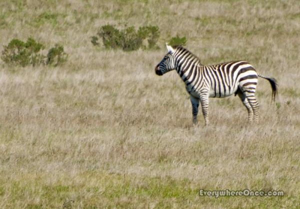 Hearst Castle Zebra