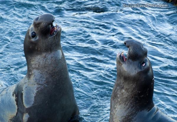 Juvenile Elephant Seals Sparing
