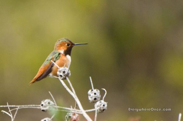 Allen's Hummingbird Perched Profile
