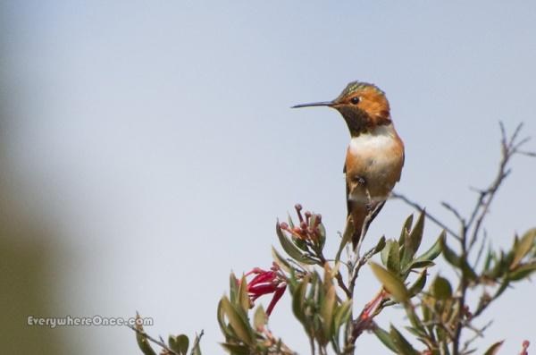 Allen's Hummingbird Perched