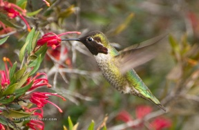 Anna's Hummingbird Feeding