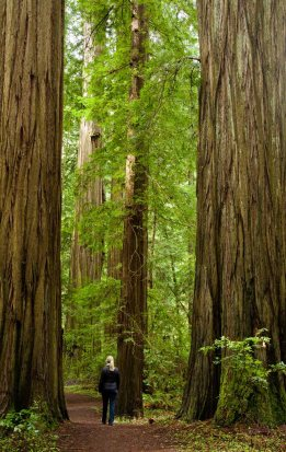 A walk among redwood trees