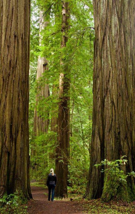 A walk among redwood trees