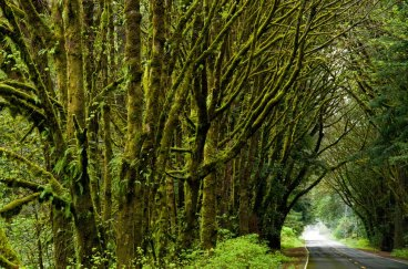 Avenue of the Giants Moss Covered Trees