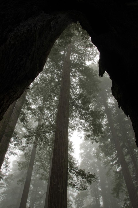 Redwood Forest Shrouded in Mist