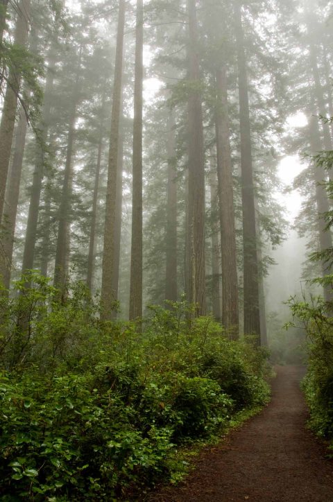 Redwoods shrouded in mist