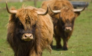 Yaks at Blue Heron Cheese Company in Oregon