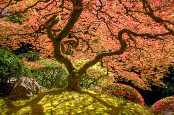 A Japanese Laceleaf Maple graces the Flat Garden, one of five different gardens to explore.
