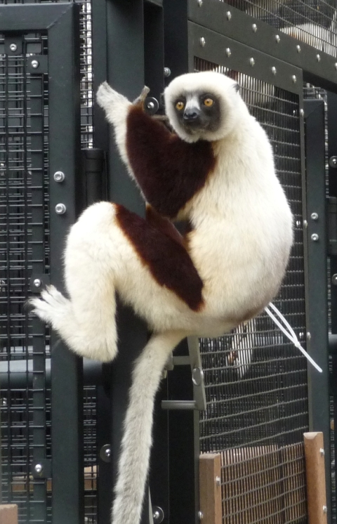 lemur at the Duke Lemur Center