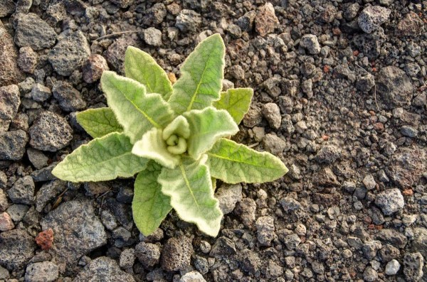 Volcanic Plant