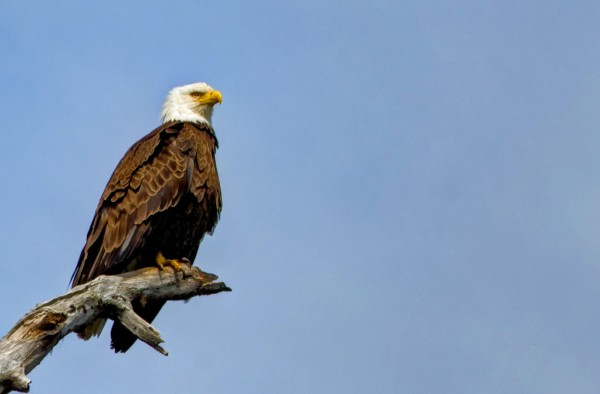 The Bald Eagle: A Majestic and Ironic National Symbol