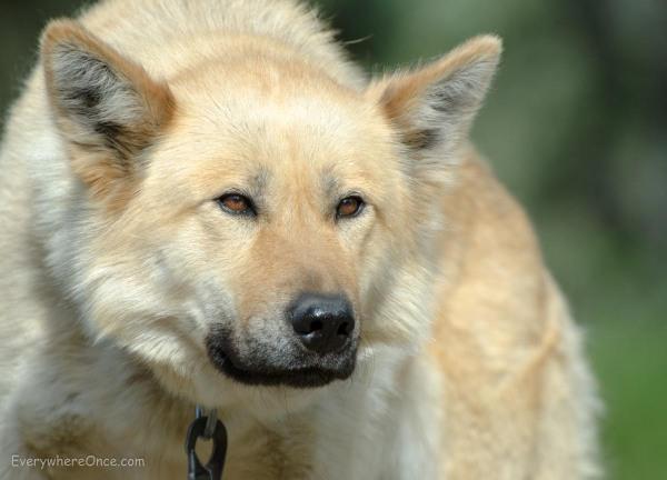Alaskan Sled Dog, Denali