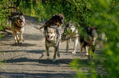 Alaskan Sled Dogs Running