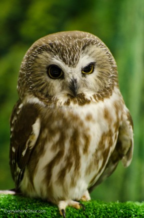 Tootsie the Northern Shaw-wet Owl