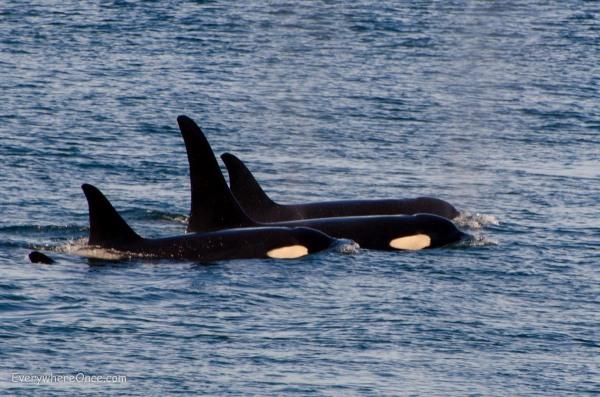 Orca Pod off San Juan Island