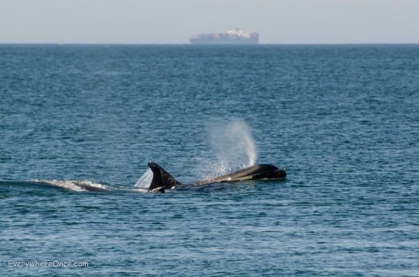 Orcas and Cargo Ship off San Juan Island