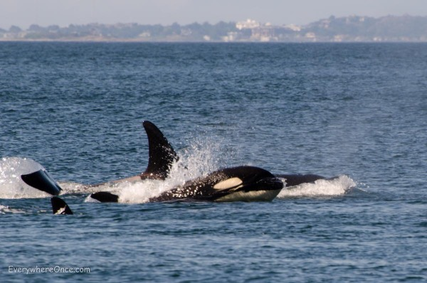 Orcas Breaching off San Juan Island