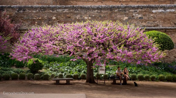 A Flowering Tree in Granada Spain