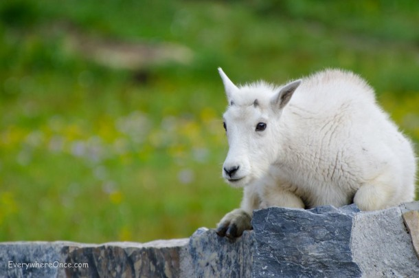 Baby Mountain Goat Glacier National Park