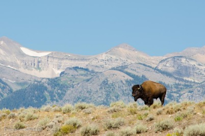 Bison at Grand Teton National Park