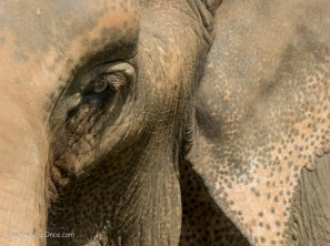 Elephant Eye close up