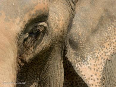 Elephant Eye close up
