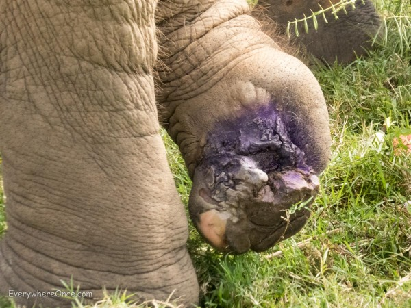 This elephant's foot was damaged by a landmine. Now covered in purple antibiotics and healing under the care of The Elephant Nature Park